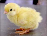 vegan baby chick